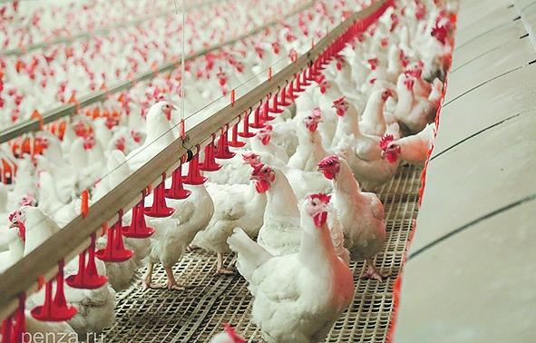 Восстановятся ли птицефабрики?