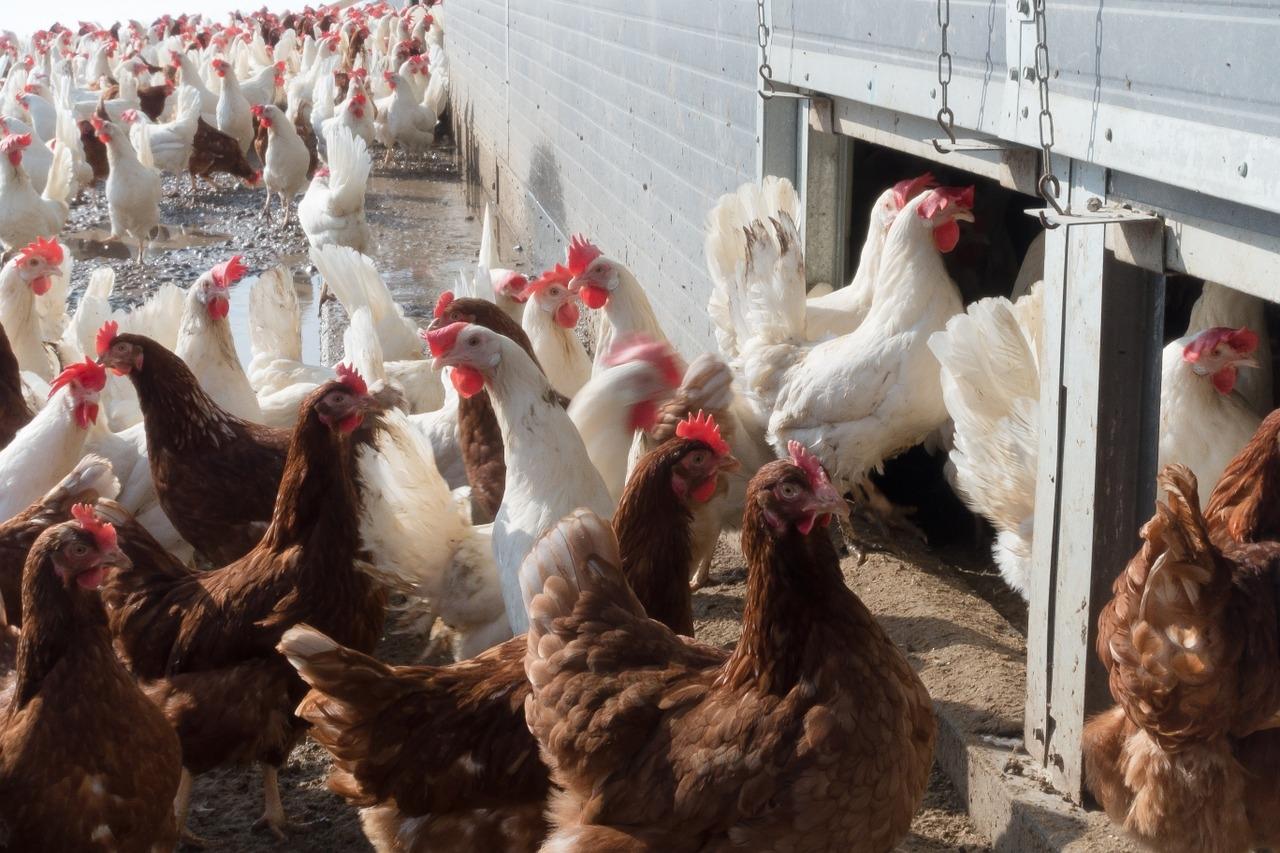 Белокалитвинская птицефабрика будет работать без перебоев