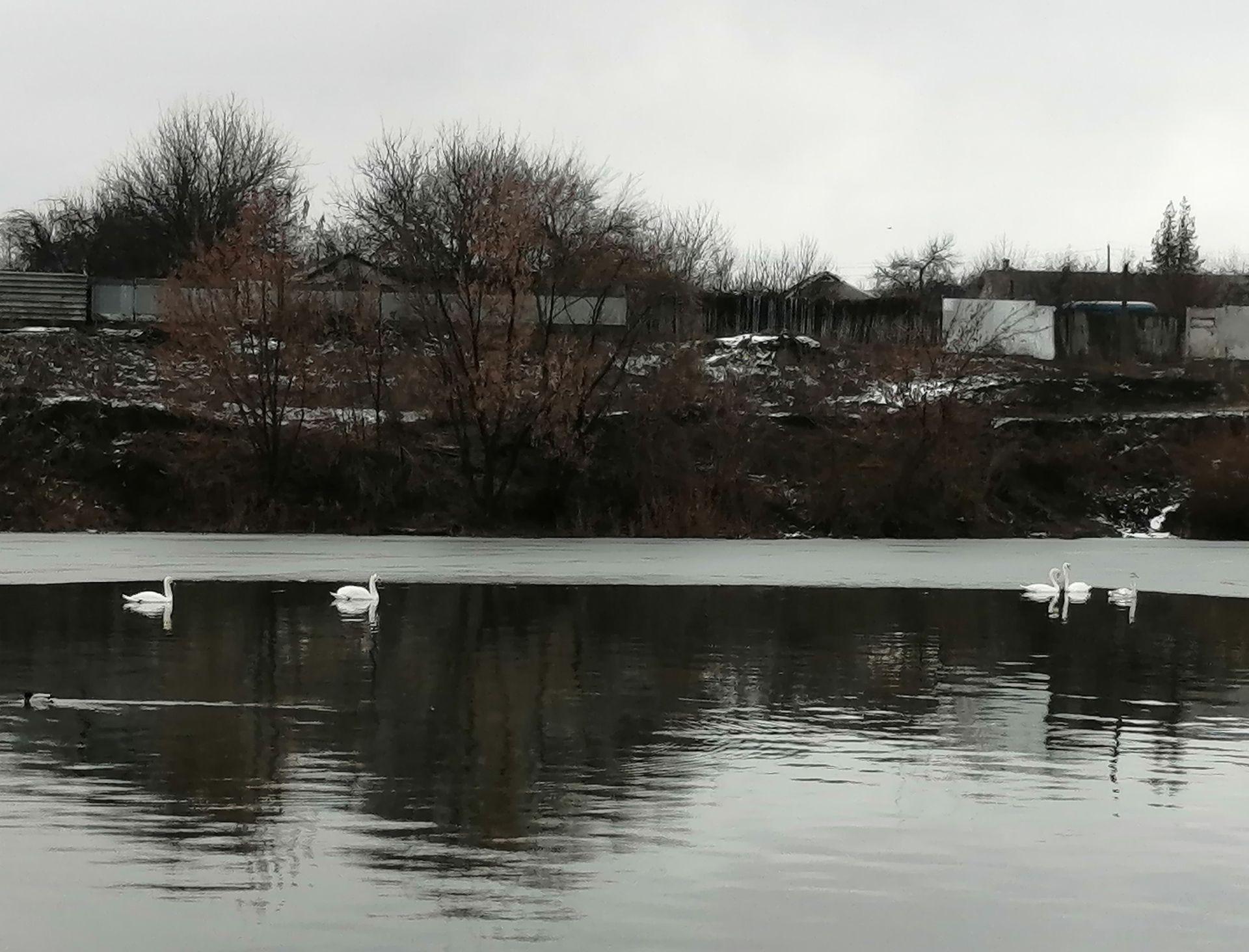 Лебеди на реке Калитве