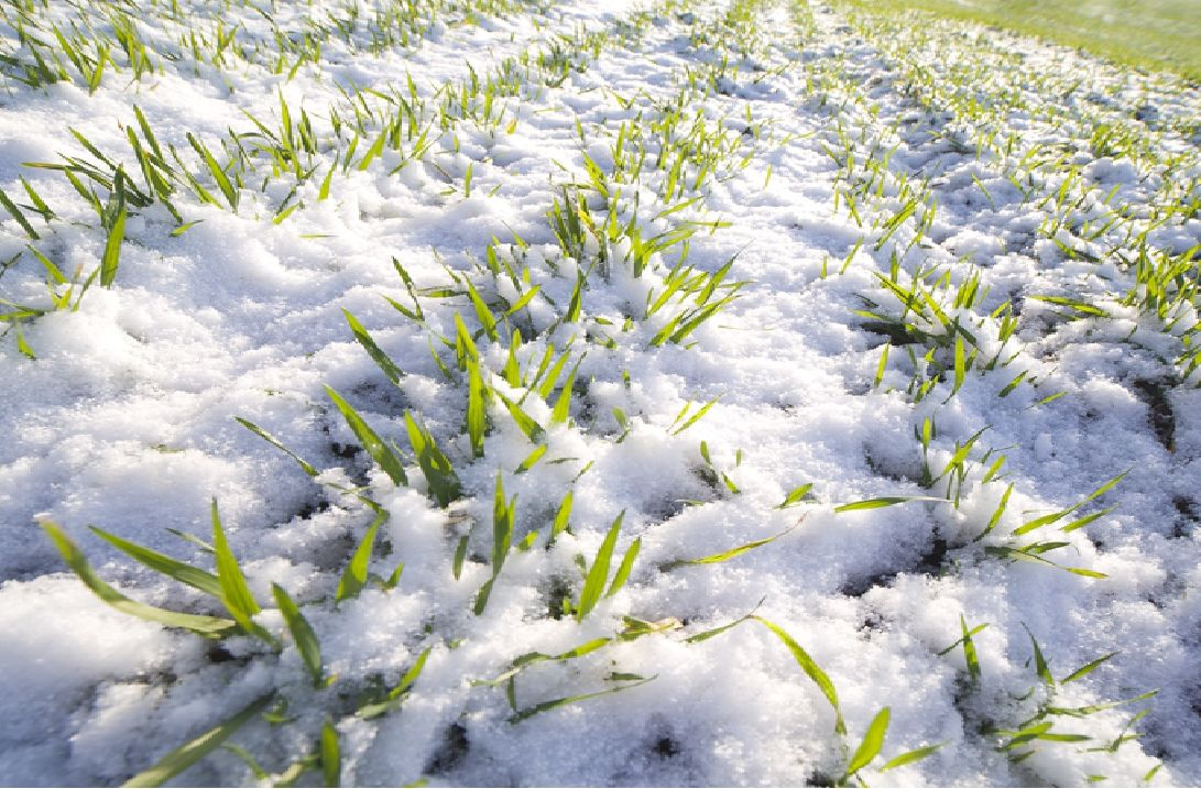 На Дону проводится мониторинг состояния посевов озимых культур