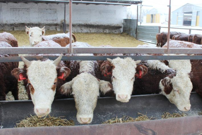 В 2020 году рост поголовья крупного рогатого скота в Ростовской области составил 102%
