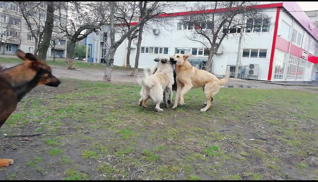 Собаки крышуют город