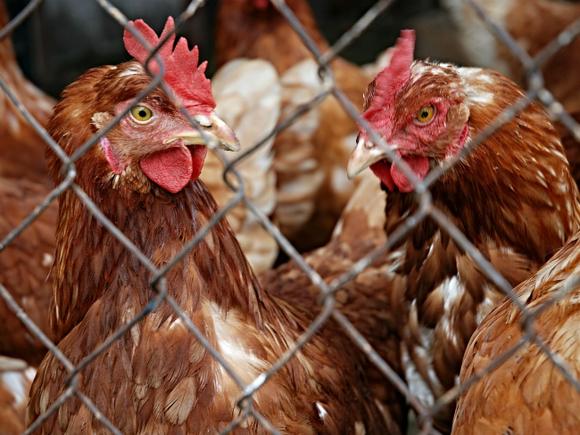 В России заметно сократилось производство птицы