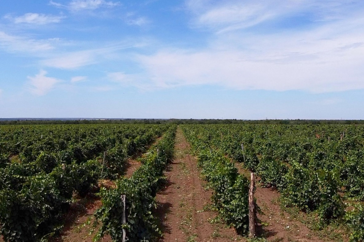 Донские сорта винограда получат «второе дыхание»