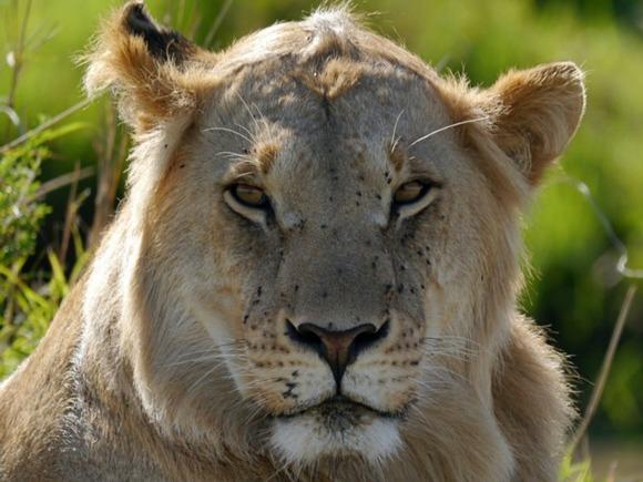 На Кубани львица напала на ребенка