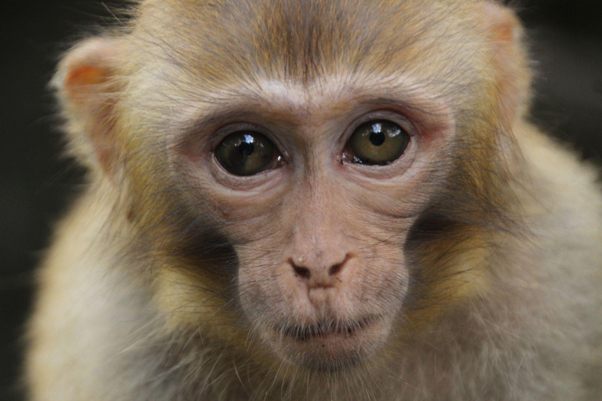В Китае впервые умер человек, зараженный опасным вирусом обезьяны