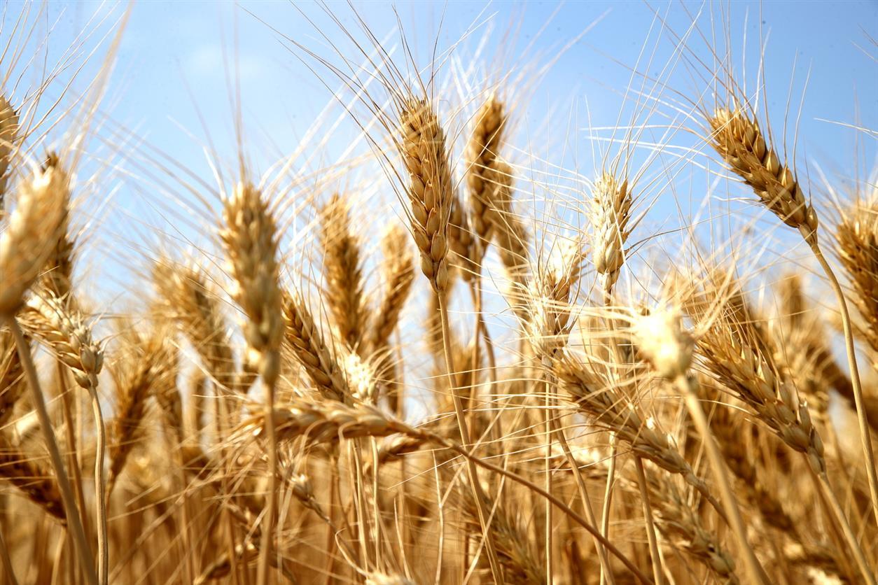 Донские аграрии побили новый рекорд по сбору ранних зерновых культур